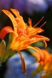 Orange Lilie in der Sonnenuntergangleuchte Stockbilder
