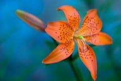 Orange Lilie gegen undeutlichen blauen Hintergrund Lizenzfreie Stockfotos