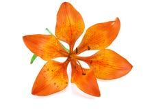 Orange Lilie getrennt Stockfotografie