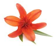 Orange lilie. Royalty Free Stock Images