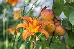 Orange Lilie und Aprikosen Stockfotografie