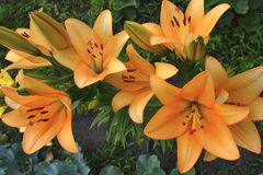 Orange Lilien in den Knospen Stockfotos