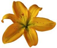 Orange Lilienblume auf lokalisiertem weißem Hintergrund mit Beschneidungspfad nahaufnahme Keine Schatten Für Auslegung Lizenzfreies Stockfoto