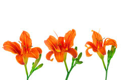Orange Lilienblumen Stockbild
