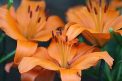 Orange Lilienblumen Stockfotos