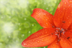 Orange Lilienblumen-Grenzdesign lizenzfreies stockbild