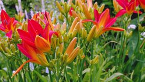 Orange Lilienblumen im Garten Lizenzfreies Stockbild