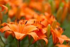 Orange Lilienblumenabschluß oben mit Lilienhintergrundmuster Stockfotografie