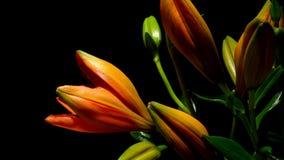 Orange Lilienc$zeit-versehen stock footage