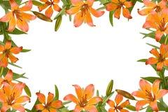 Orange Lilienfeld stockfotos