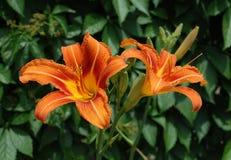 Orange Lilies Stock Photography