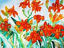 Orange daily lilies Stock Photos
