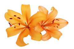 Orange lilies Stock Image