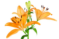 Orange Lilies Royalty Free Stock Photos