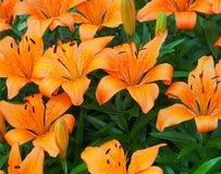 Orange Lilies In Bloom. Orange lilies with black stamens in bloom in late summer royalty free stock photos