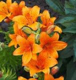 Orange Lilies. In bloom in summer stock photos