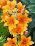 Orange Lilies Stock Image