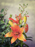 Orange lilies blooming on a bed of flowers Royalty Free Stock Photos