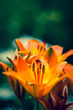 orange lilies Stock Images