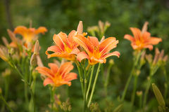 Orange lilies on a blurry green grass background. Lilies growing in a garden Royalty Free Stock Images