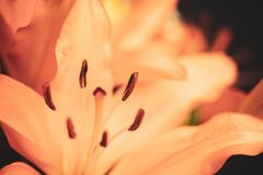 Orange lilies floral background with selective focus, beautiful flowers concept. royalty free stock image