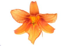 Orange lilies flower Royalty Free Stock Images