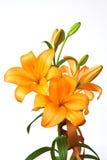 Orange lilies Stock Images