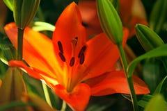 Orange lilies. Stock Photo