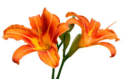 Orange Lilies. Growing wild in north east Italy Stock Photos