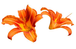 Orange Lilies. Growing wild in north east Italy Stock Photography