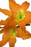 Orange Lilies Isolated. With Clipping Path royalty free stock photo