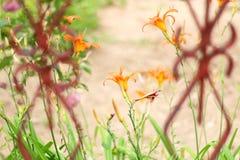 Orange Lilies Royalty Free Stock Photos