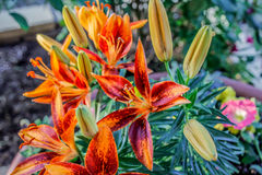 Orange lilies with orange, yellow and green stems. A beautiful potted bush of Albuquerque perrenial lilies... vivid orange and reddish tint making a rich natural royalty free stock photos