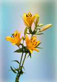 Orange Lilies. View of three orange lilies in full bloom on a blue background Royalty Free Stock Image