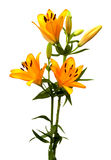Orange Lilies. View of three orange lilies in full bloom on a white background Royalty Free Stock Photo
