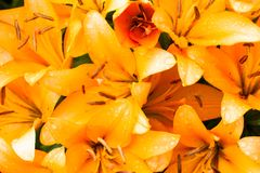 Orange lilies in water droplets stock photography