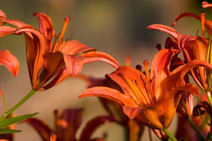 Orange lilium Stock Photos