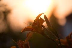 Orange lilium Arkivfoto
