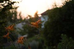 Orange lilium Arkivfoton