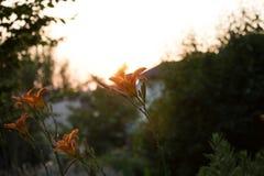 Orange lilium Royaltyfria Bilder