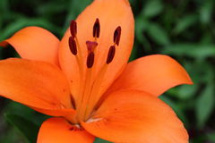 Orange Lilium Stock Photo