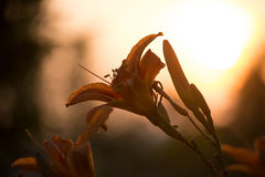 Orange Lilium. In the Sunset Royalty Free Stock Images