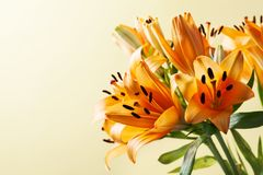 Orange lilium, symbol of happiness, love and warmth stock photography