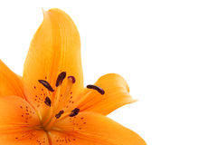 Orange liliy flower in closeup Stock Image