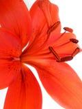 Orange lilja Royaltyfria Foton