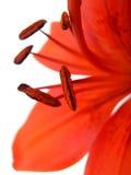 Orange lilja Arkivbild