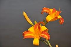 Orange lilja Royaltyfri Foto