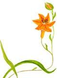 Orange lilja Royaltyfri Fotografi