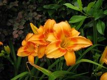 Orange lilja Fotografering för Bildbyråer