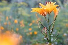 Orange lilja i trädgården Arkivfoton
